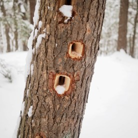 Evidence of woodpeckers — copyright Trace Meek