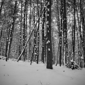 Snow-clumped trees — copyright Trace Meek