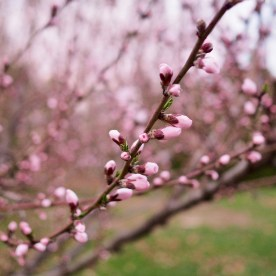 Peach blossoms — copyright Trace Meek