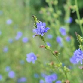 Cornflower, a.k.a., chicory — copyright Trace Meek
