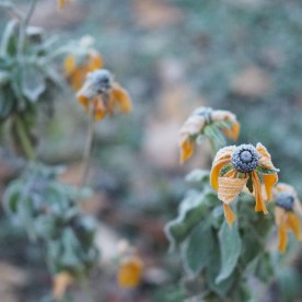 Black-eyed Susans succumb to frost — copyright Trace Meek