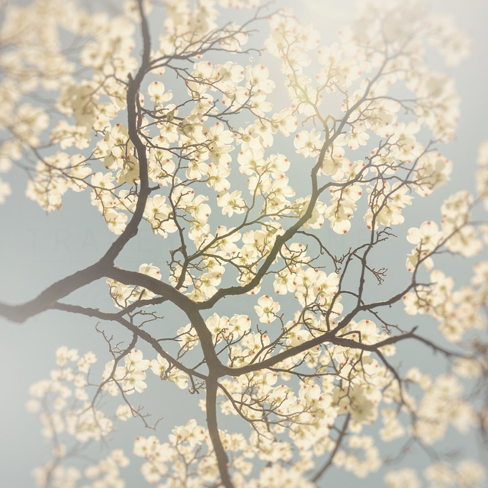 Photograph of a cluster of white and red dogwood flowers against a pale blue sky by Tracey Capone.