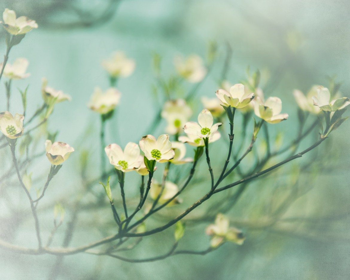 Phtoograph of a cluster of yellow dogwood flowers on a light teal background by Tracey Capone