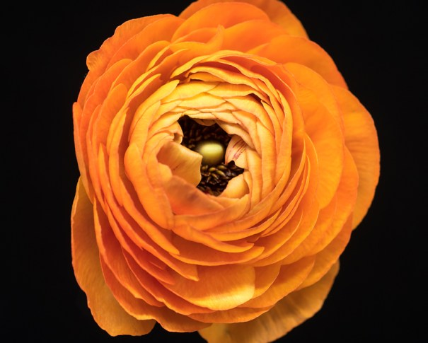 Macro photograph of an orange ranunculus on a black background by Tracey Capone