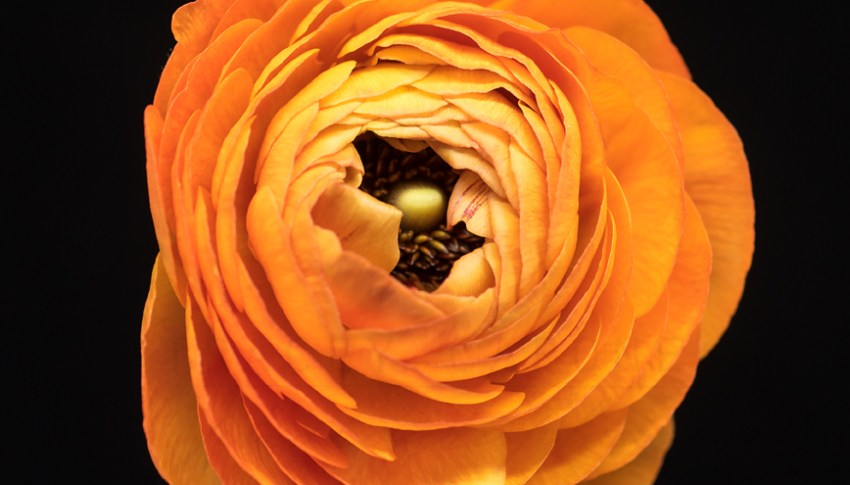 botanical portrait series: orange ranunculus