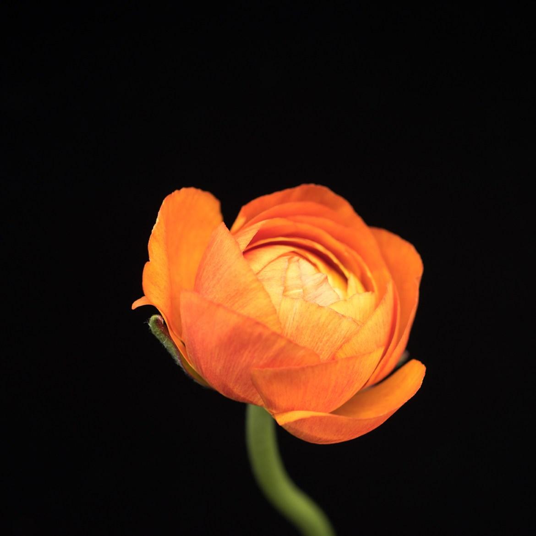 Orange-Ranunculus-3