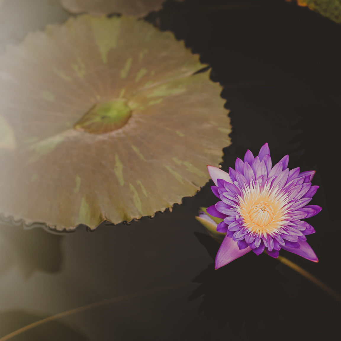 Photograph of a purple and yellow lotus flower next to a dark green lily pad by Tracey Capone.