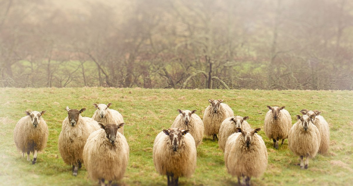 Photograph of a flock of sheep in the countryside of Scotland. Travel and nature photography by Tracey Capone