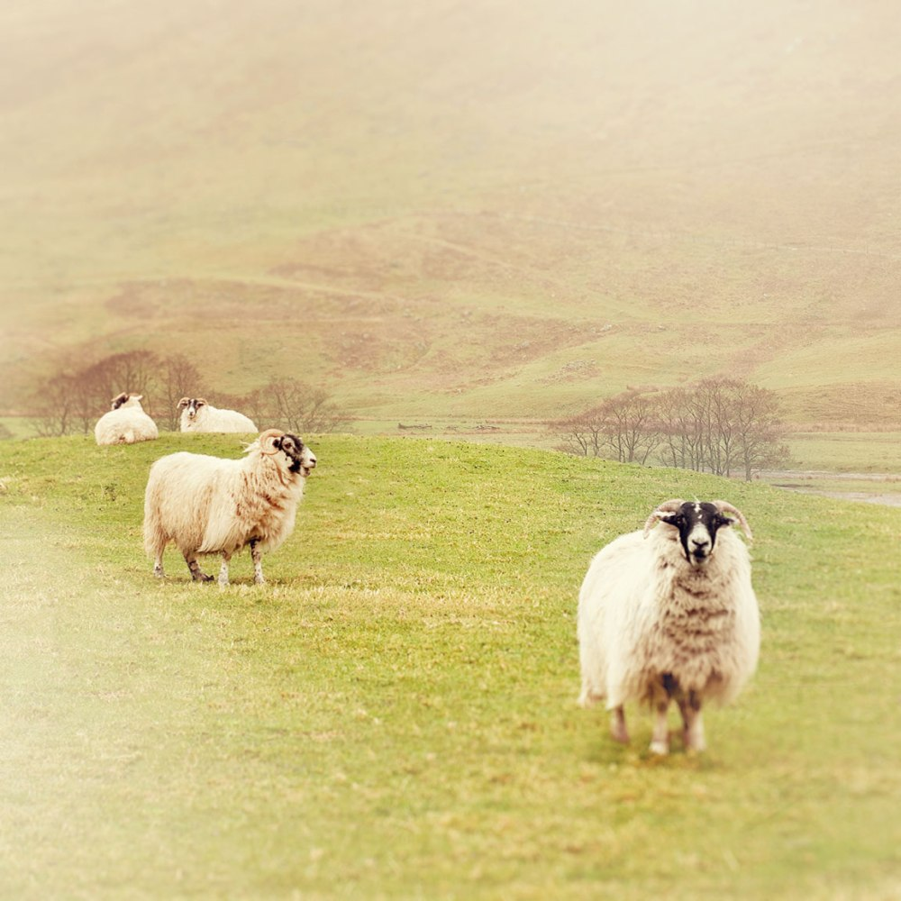 Sheep in the countryside of Scotland. Travel Photography by Tracey Capone