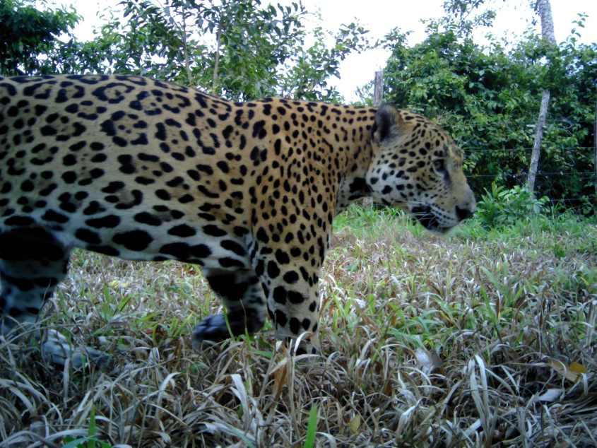 Jaguar in Big Falls Farm Belize near sugar plantation_Credit Panthera-UB ERI-BAS