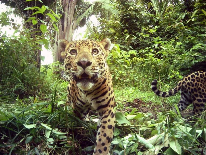Jaguars in Belize 1_Credit Panthera_UB ERI_BAS