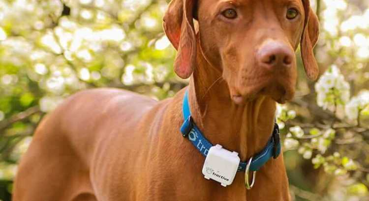 enzo wears a Tractive collar and the GPS tracker