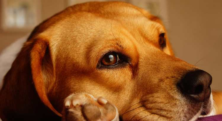 Allergien beim Hund - ist mein Hund betroffen?