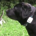 I 2 Labrador che adorano Tractive GPS