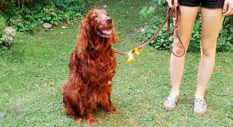 Cosa significa il fiocco giallo sul guinzaglio di un cane?