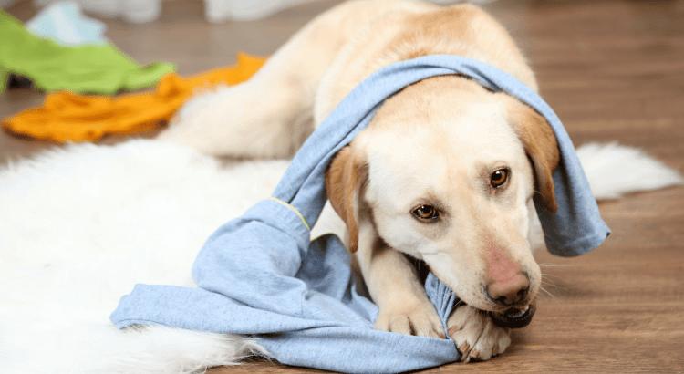 5 Gründe warum Hunde Socken klauen