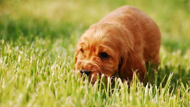 il mio cane mangia l'erba