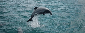 Science Nutshell Single Maui dolphin by Will Rayment