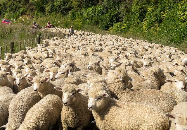 The News Hub - Sheep Muster med