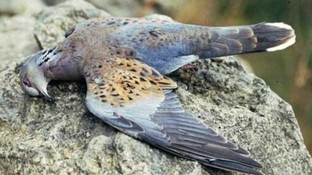 The News Hub - Turtle dove hunted