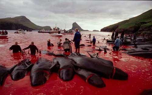 Faroe_whale_massacre