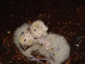 Kakapo chicks by Mike Bodie (Doc)