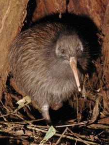 TeTuatahianui North Island brown kiwi