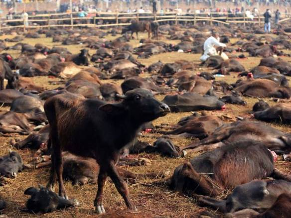 Calf in Gadhimai killing fields