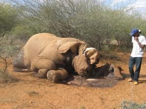 Elephant killed by poacher