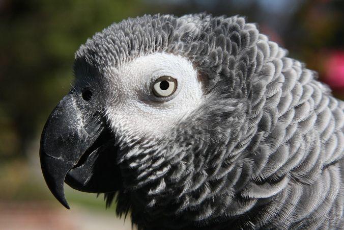African grey parrot head