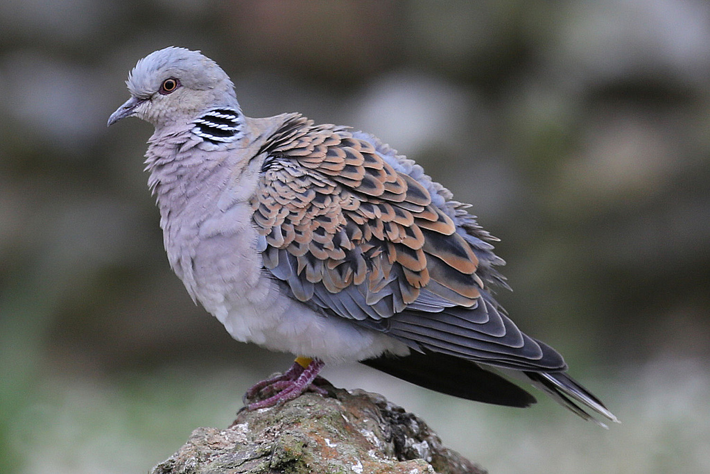 Malta Set To Slaughter 5000 Turtle Doves In Spring Hunt Tracy Brighten