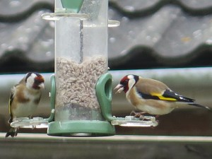 goldfinches eating sunflower seeds
