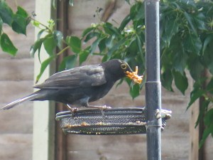 blackbird with mealworms