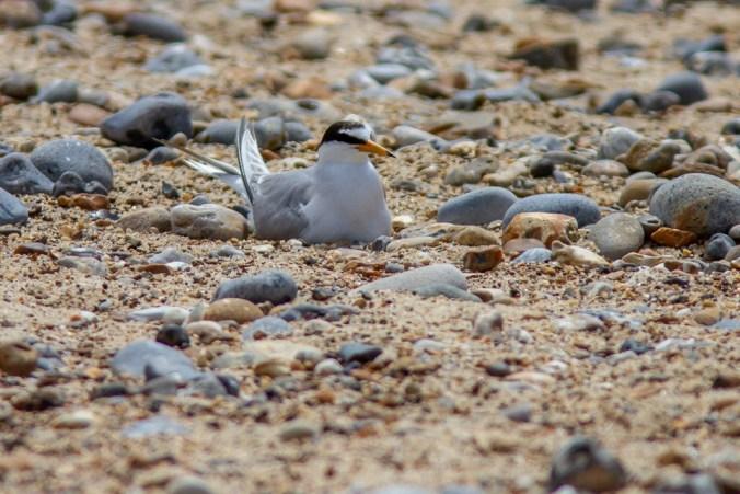 Little tern adult on a nest.
