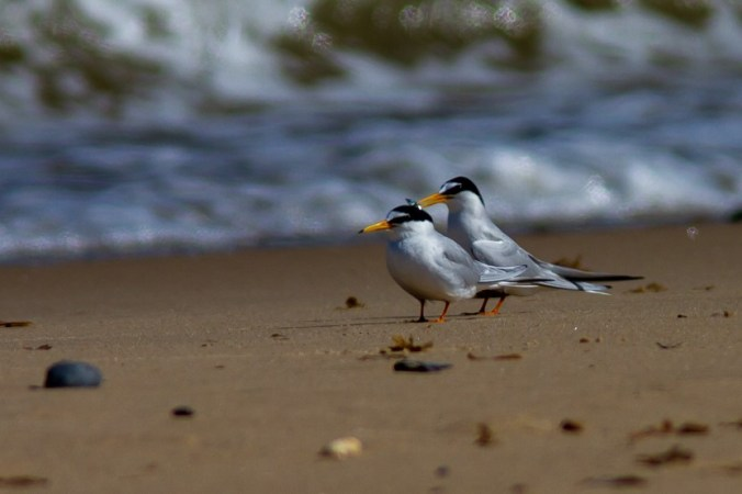Little tern courting a mate