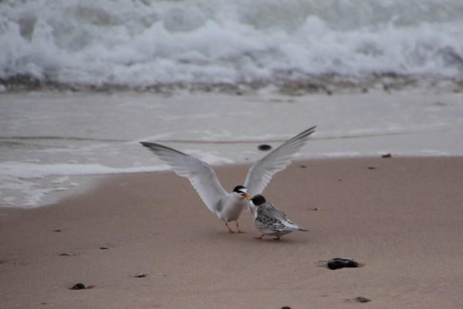 Adult little tern feeding fledgling