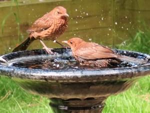 Blackbird fledglings