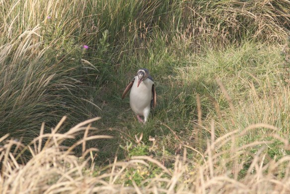 Yellow-eyed penguin returning through the dunes at dusk