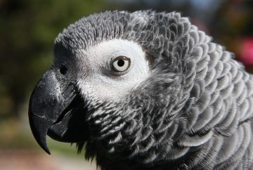 Image showing face of African grey parrot