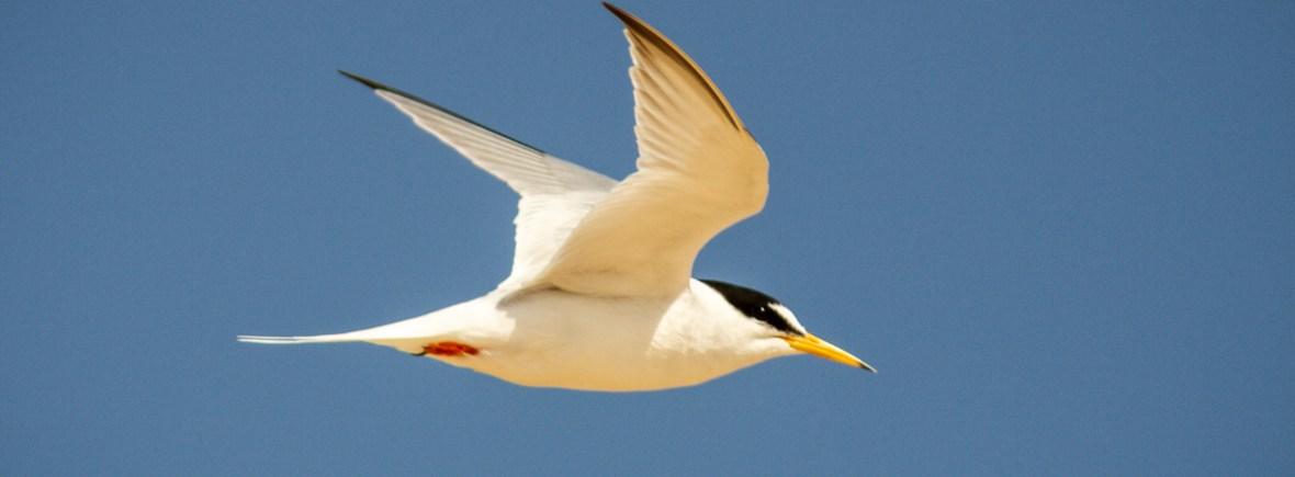 Little tern in flight in Norfolk UK
