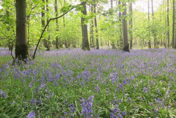 Bluebells in wood springtime