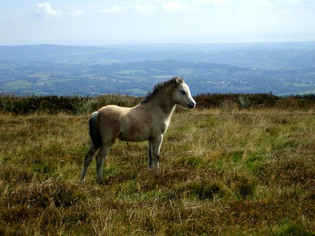 A wild pony grazes on the mountainside