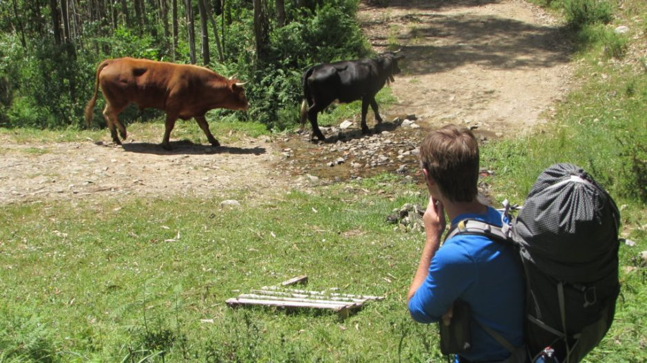Harri keeps his eye on a passing bull