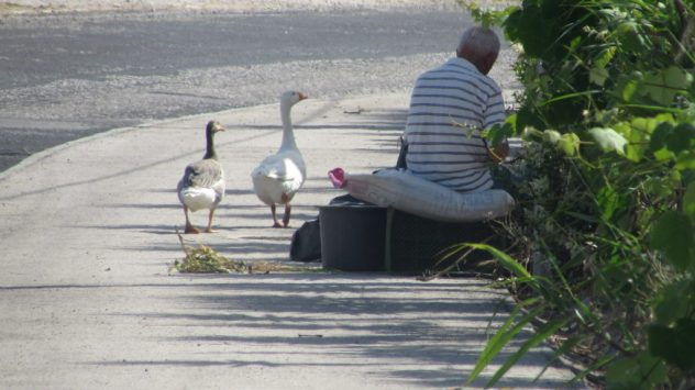Geese, near Porto Nova, Silver Coast, Portugal