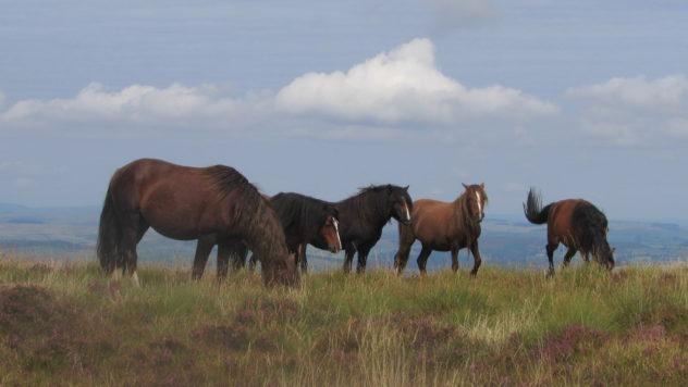 Wild ponies graze on Fforest Fawr near the summit of Fan Frynych, Brecon Beacons National Park