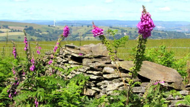 Foxgloves and a drystone wall on Mynydd Dimllaith above the Rhymney Valley. South East Wales