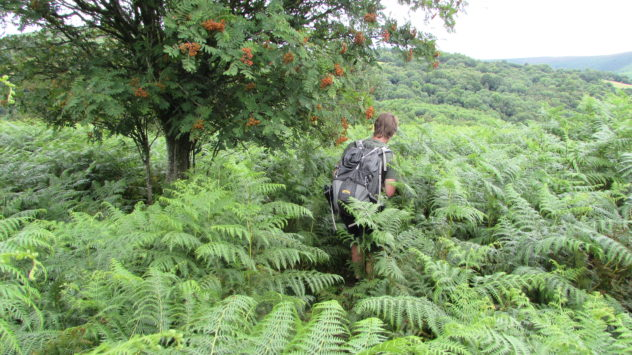 Outdoor writer Harri Garrod Roberts fights his way through bracken in the Grwyne Fawr valley, Black Mountains, Brecon Beacons National Park