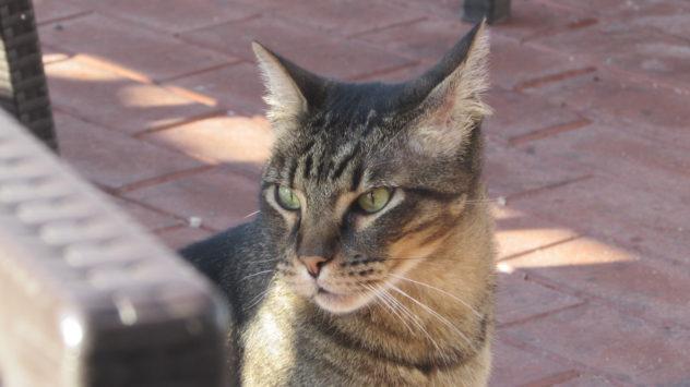 Evil tabby Tomcat, Algarve