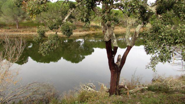 Cork oak near São Marcos da Serra Marcos de Serra