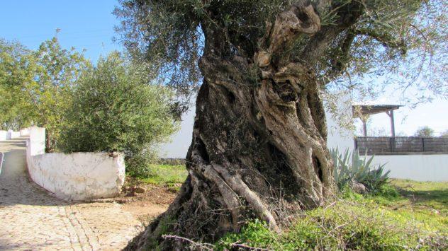 Old fig tree, Querença, Algarve